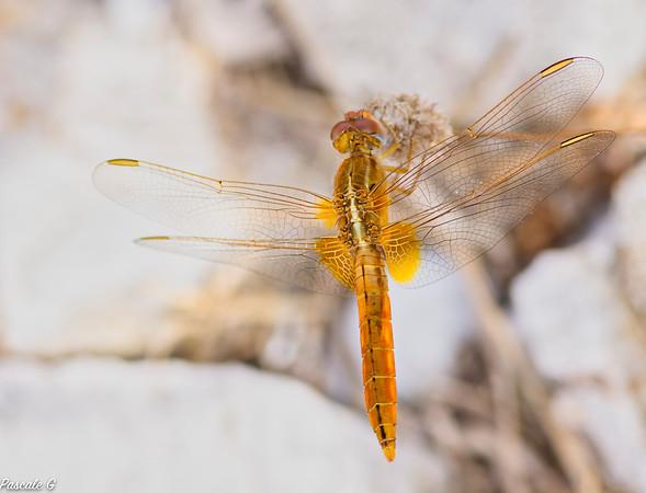 I love dragonfly ; J'adore les libellules