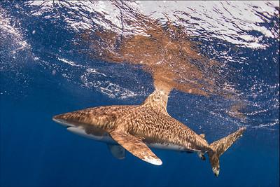 Oceanic White Tip Sharks