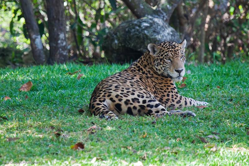 A jaguar at the Xcaret Ecological park.