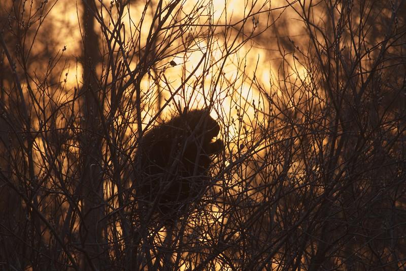 Porcupine McDavitt Rd Sax-Zim Bog MN IMG_9454.jpg