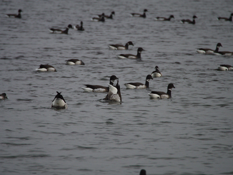 Brant Geese at Point Hudson, A regular overwinter site for them