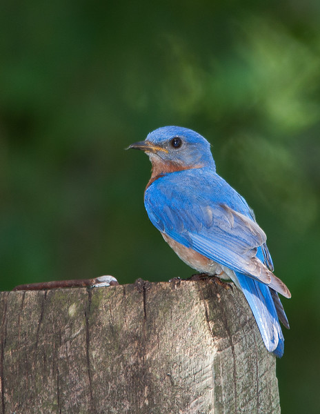 Bluebird on post2 letter.jpg
