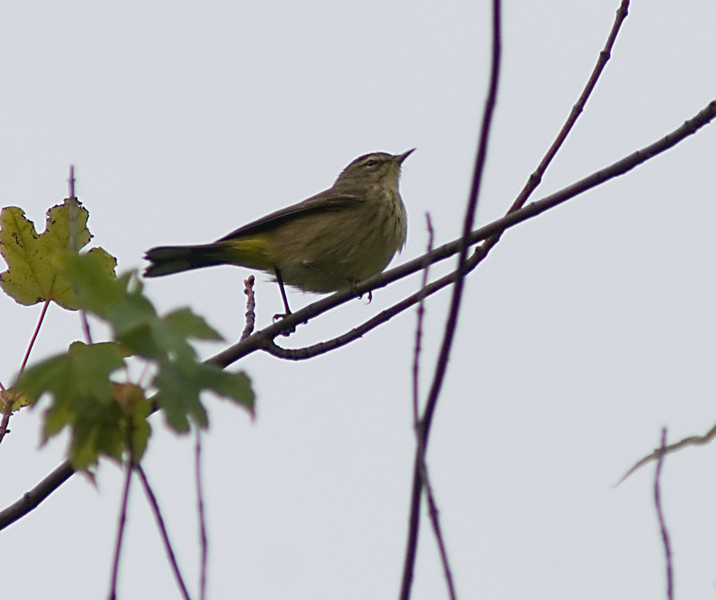 UN-IDed Warbler