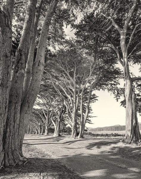Cypress Tunnel. Early Evening.