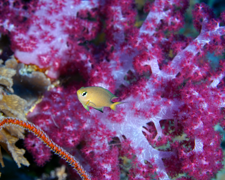 Damselfish and soft coral