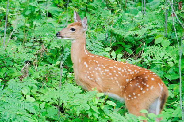 White-tailed Deer - fawn - Dunning Lake - Itasca County, MN