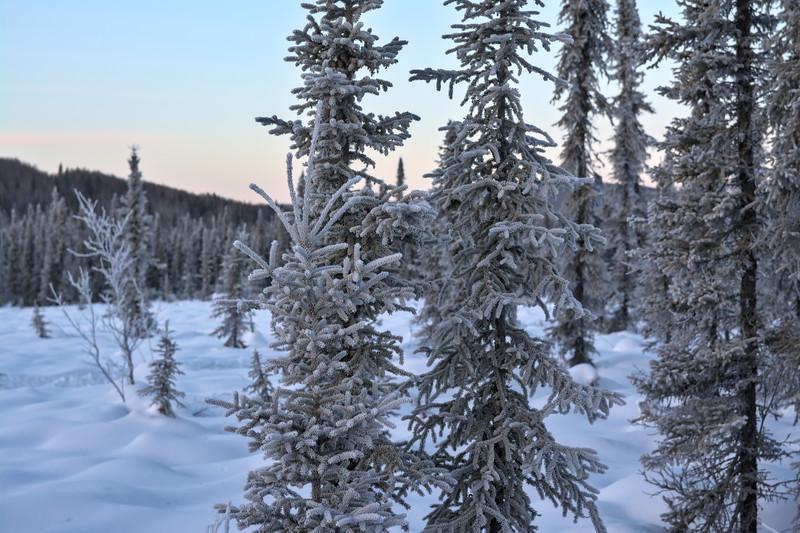 Frosty Spruce Trees
