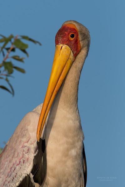 Yellow-billed Stork, Chobe River, NAM, Oct 2016-7.jpg