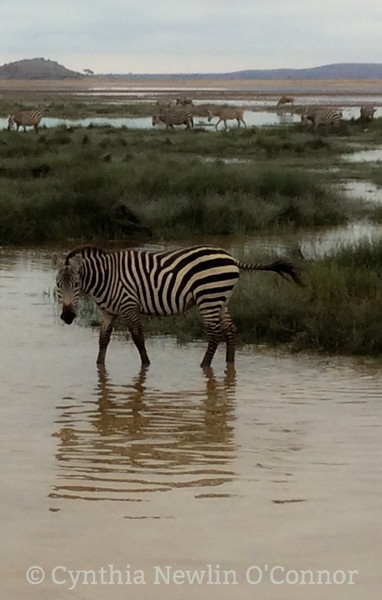 Zebras and Reflections-4.JPG