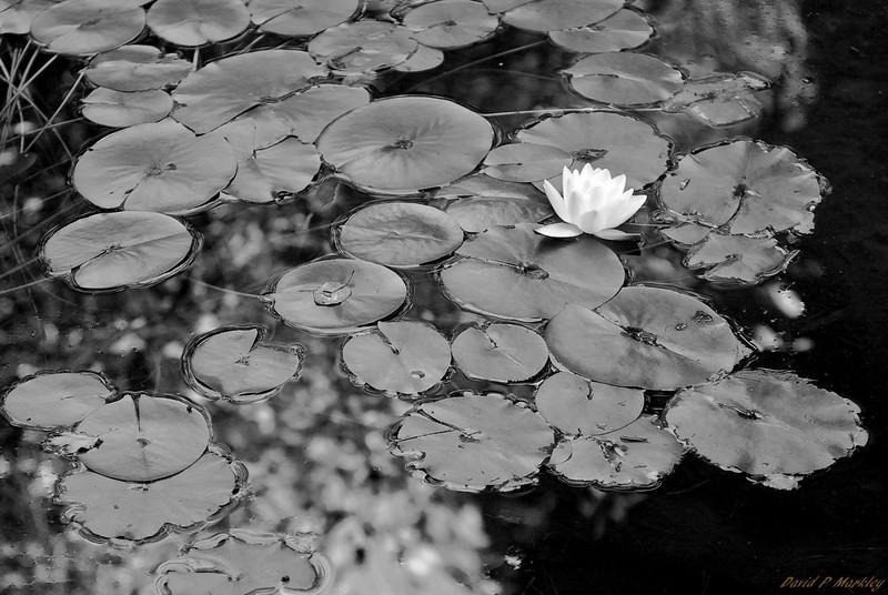 Glistening Lily