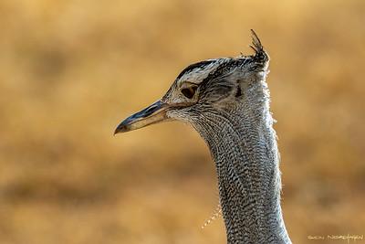 Trappefugler (Otidiformes)