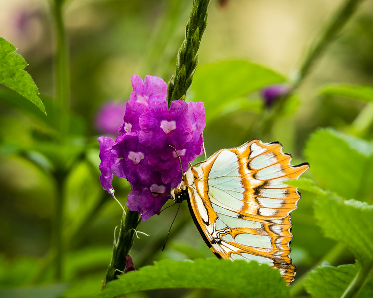 Orange and green butterfly next to a purple flower.