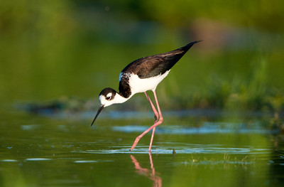 Black-necked Stilt (<em>Himantopus mexicanus</em>)