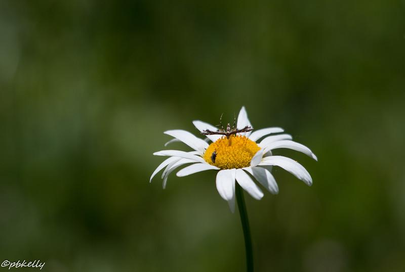 6/18/15.  Plume moth on a daisy.