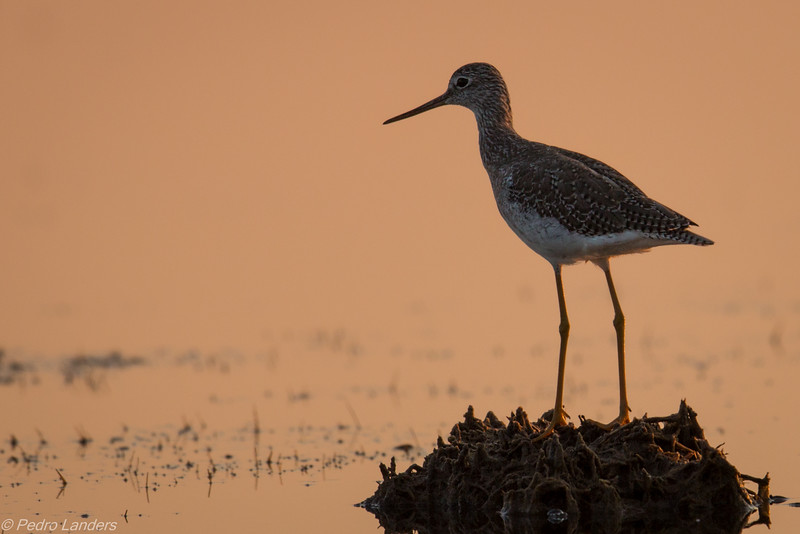 Sunset Yellowlegs