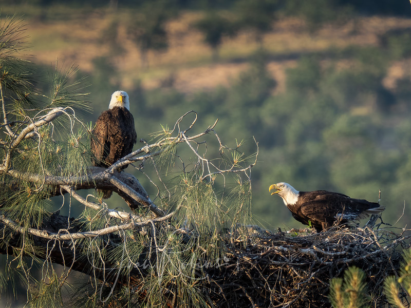 210502-Eagle nest near lassen May-5025193-Edit.jpg