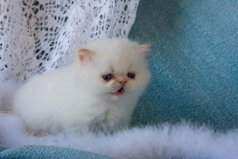 Himi_Kittens_Nov30-8063.jpg