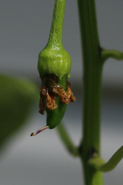 Hot peppers in my garden.