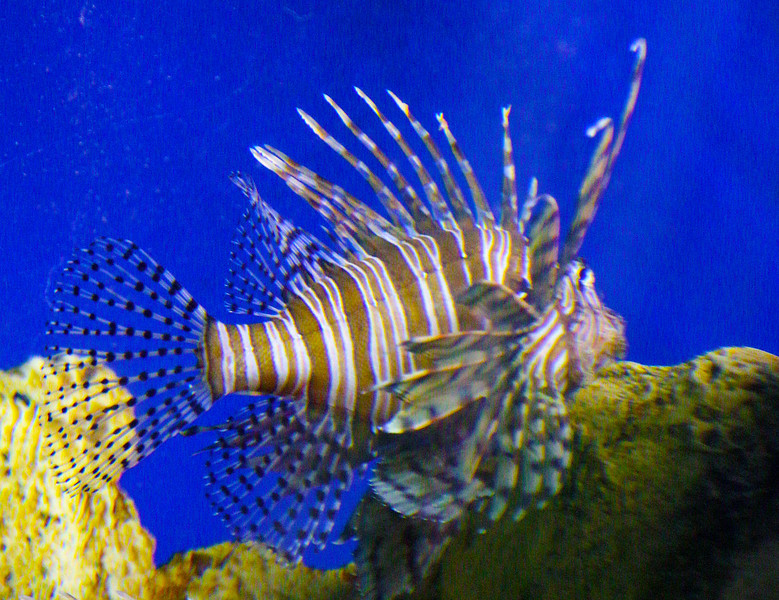 An invasive species: The Lion Fish.
