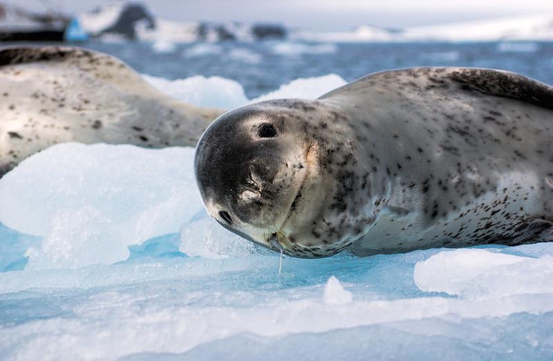 leopard seals 10-Edit.JPG