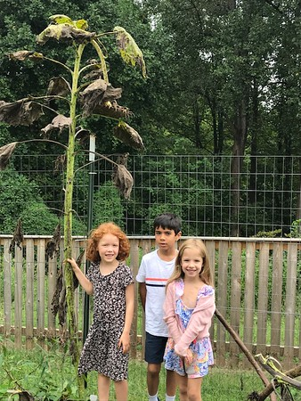 First Graders Measure Up to their Now Very Tall Sunflowers