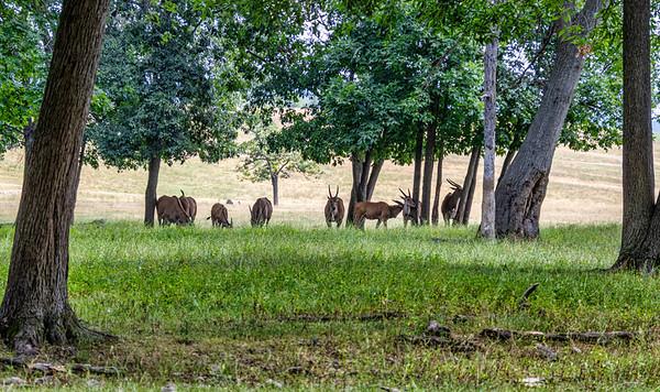 Lake Tobias Drive-Thru Safari, 7-9-20 (90D)