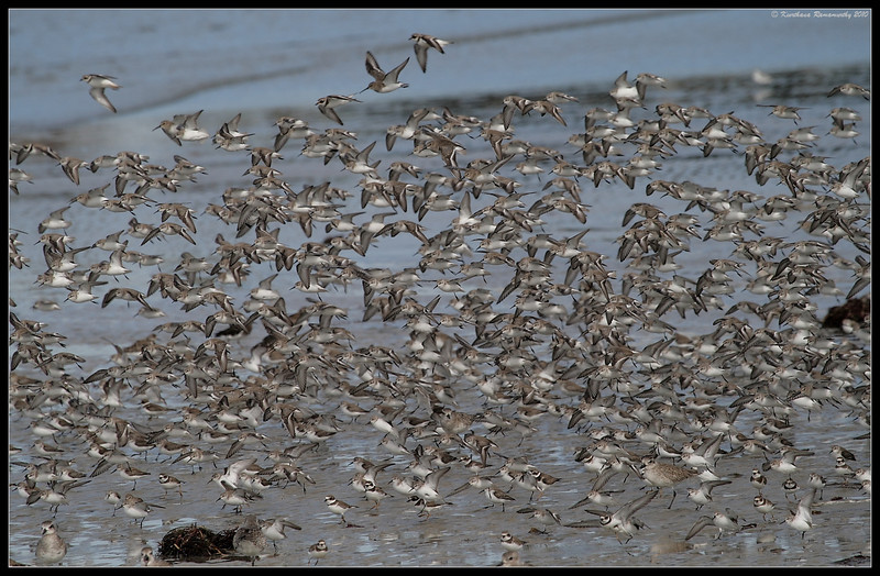 mixed flock of Semi-palmated plovers, Ruddy Turnstones, Western Sandpipers, Black-bellied plovers, Robb Field, San Diego River, San Diego County, California, January 2010