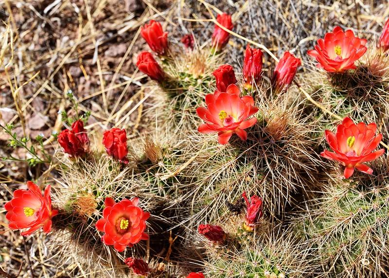 NEA_6906-7x5-Cactus Flowers.jpg
