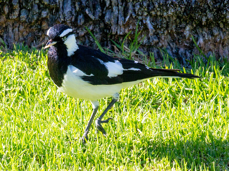 Another Magpie Lark