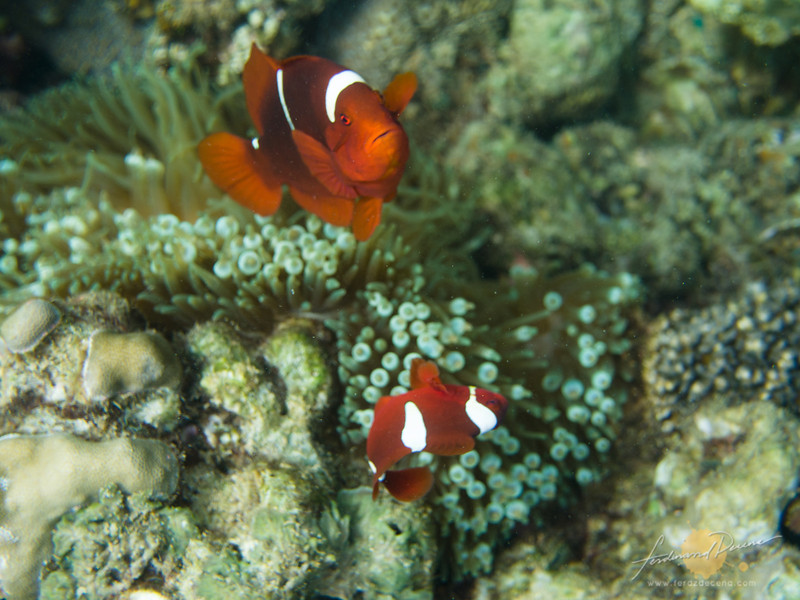 Our favorite Nemo fishes (anemone fish), plenty of them there