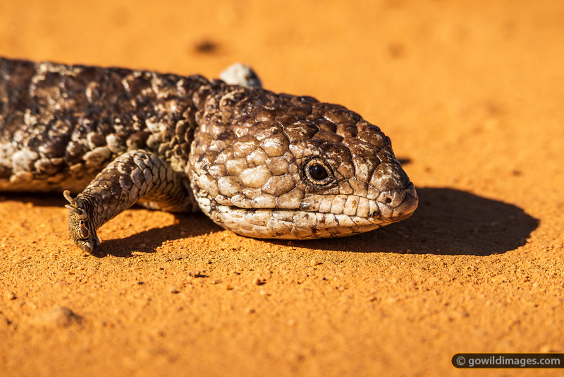 Shark Bay Shingleback