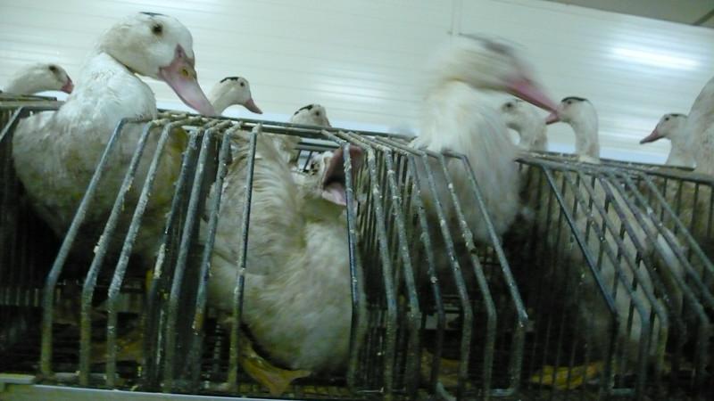 canards-foie-gras-2008-fr-B-013.jpg