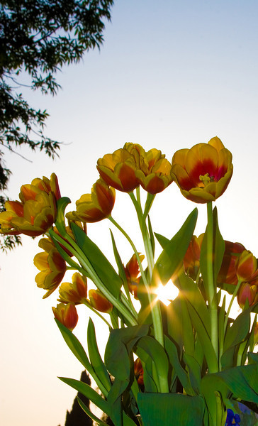 Tulips outdoor_28.jpg