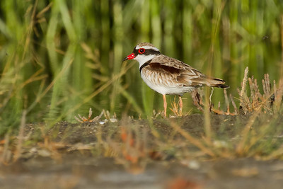 Black Fronted Dotterel