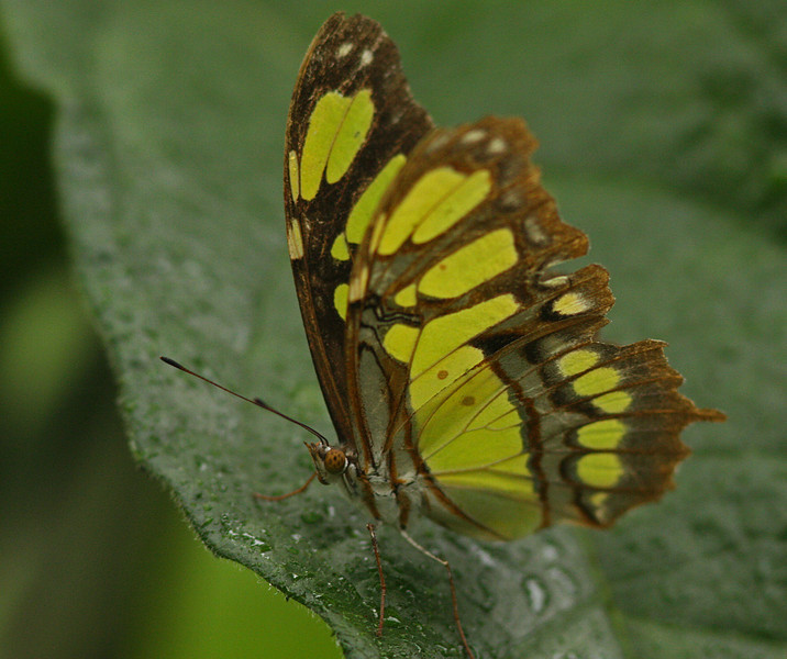 Green Malachite Butterfly in the rain