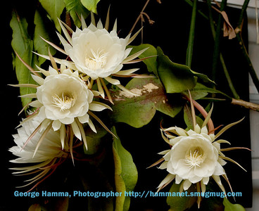 Night-Blooming Cereus 1-060903