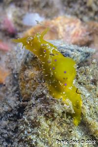 Stylocheilus longicauda