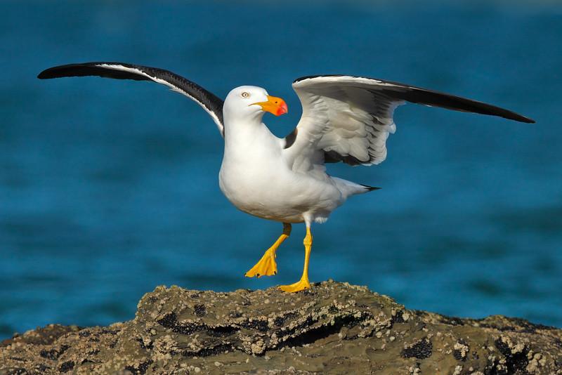 Pacific Gull MASTER.jpg