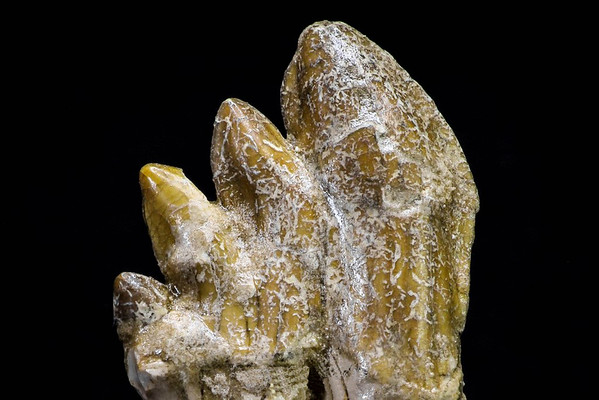 SOLD #8333 Basilosaurus sp.