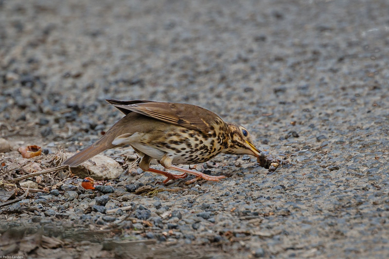 Song Thrush and Snail