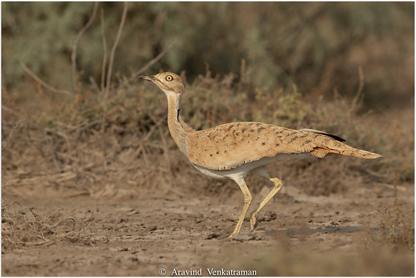 Birds of Kutch