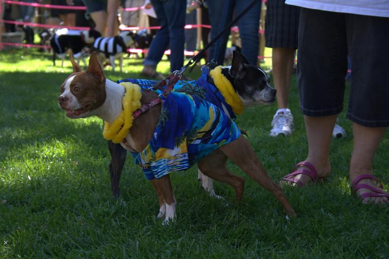 boston terrier oct 2010 125.jpg