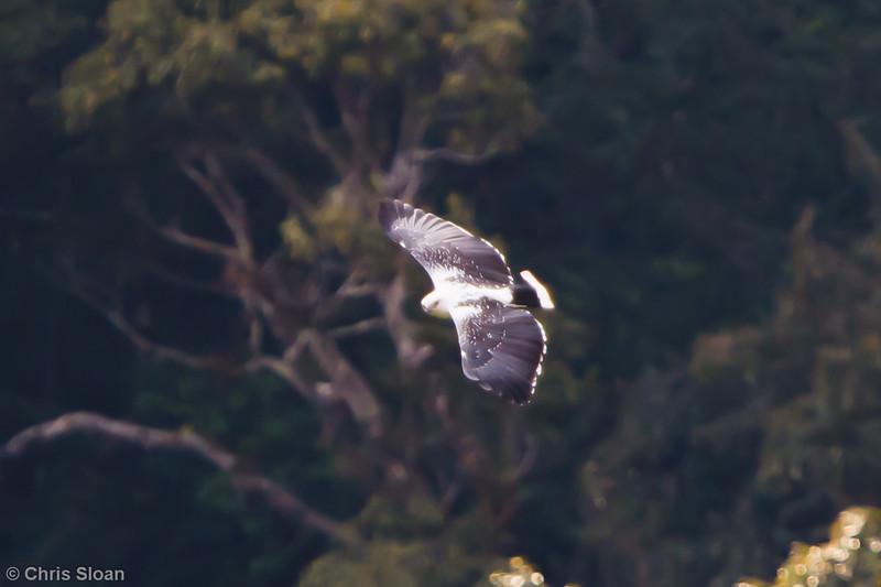 White Hawk at La Escalera including Tunnel Area, Tarapoto, Peru (07-03-2010) 157.jpg