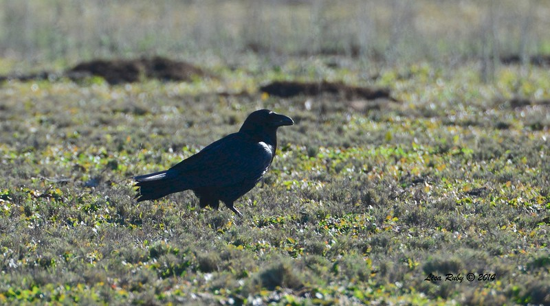 Common Raven - 12/29/2014 - Rangeland Road, Ramona