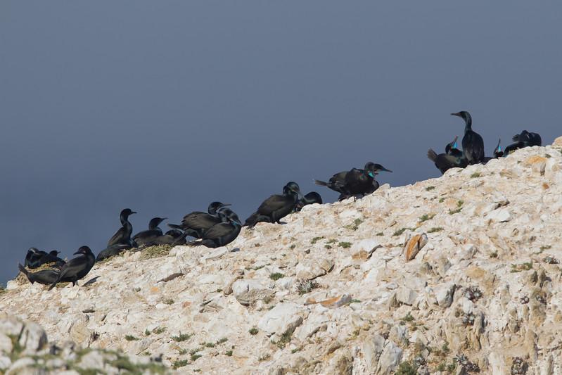 Brandt's Cormorants on the ridge - Point Lobos, Carmel, CA, USA