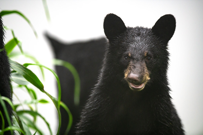 Black Bear Cub with an Awkward Smile