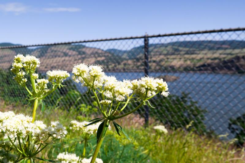 Oregon Weed