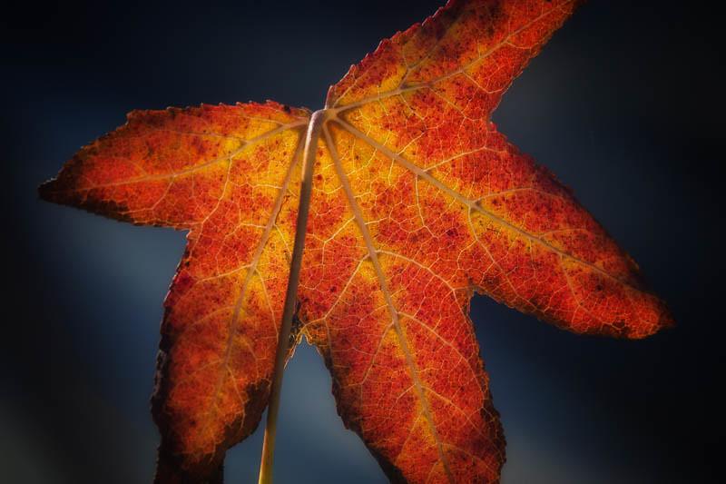 November 29 - Late autumn leaf.jpg