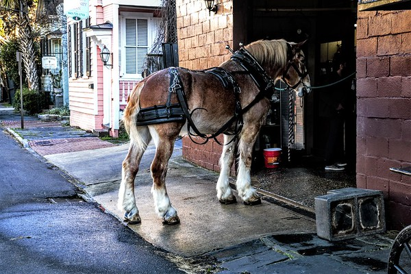 CHARLESTON CARRIAGE MULES & HORSES