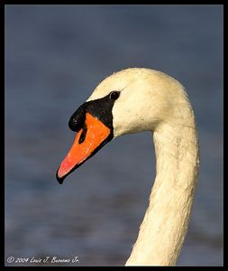 Large Birds - Swans etc..
